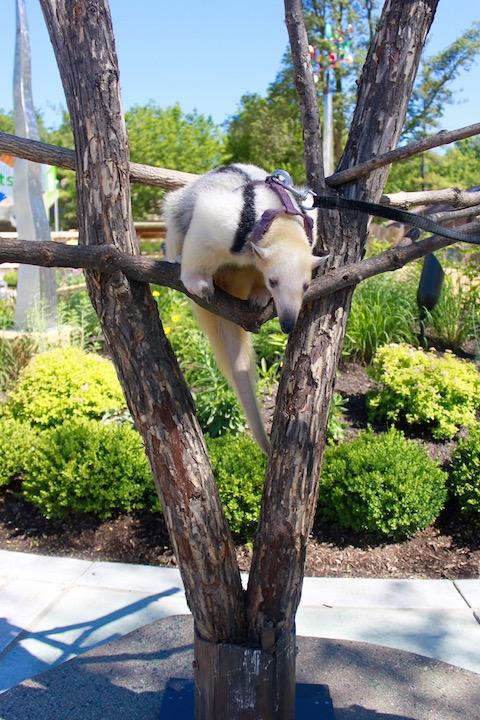 brookfield zoo animal ambassador tamandua