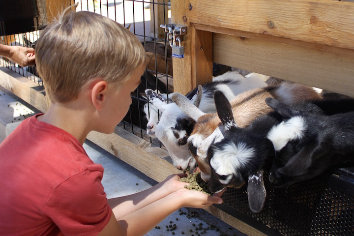 brookfield zoo wild encounters feeding goats