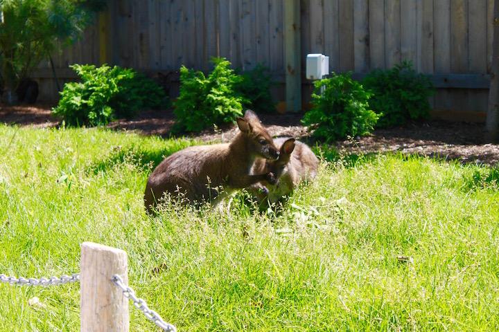 brookfield zoo wild encounters wallaby
