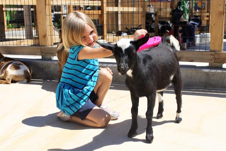 brookfield zoo wild encounters brushing goats