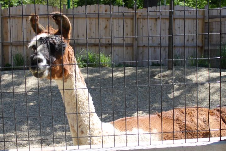 brookfield zoo wild encounters llama