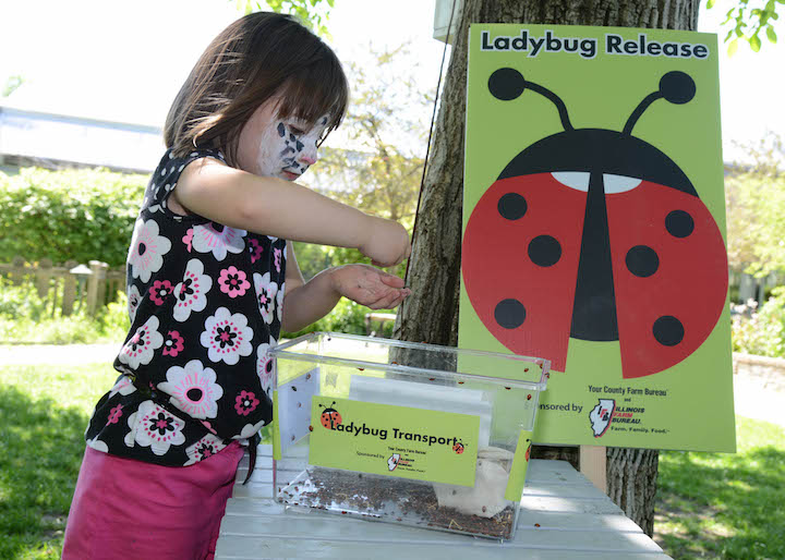 During the summer, children can participate in lady bug releases at Brookfield Zoo's Hamill Family Play Zoo. Since the exhibit opened in 2015, there have been 630 ladybug releases resulting in around 2,835,000 ladybugs taking flight.